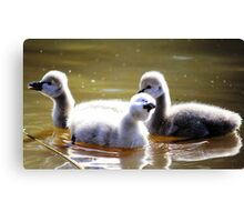 Singing in the rain baby swans Canvas Print