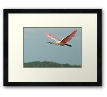 Spoonbill flys off into the sunset Framed Print