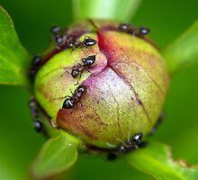 Ants on Peony Blossom by Lynn Gedeon