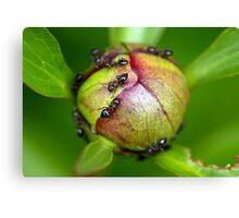 Ants on Peony Blossom Canvas Print
