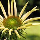 Yellow Daisy by Lynn Gedeon
