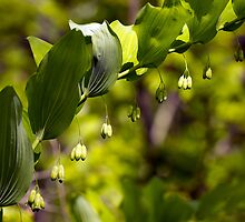 Solomon's Seal by Lynn Gedeon