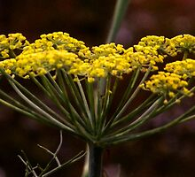 FENNEL by buddybetsy