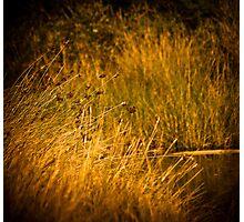 Golden Photographic Print