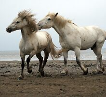 Camargue White Horses by Charlotte Jarvis