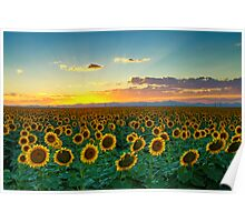 Sunflower Sea Poster