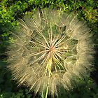 Oyster Flower or Salsify by Lynn Gedeon
