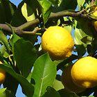 Luscious Lemons in the Light by M-EK