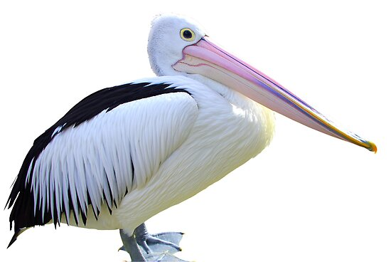 Pelican on white by Kerry  Hill