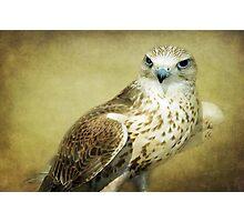 The Saker Falcon Stare Photographic Print