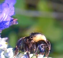 Bumble bee on lavender by ♥⊱ B. Randi Bailey