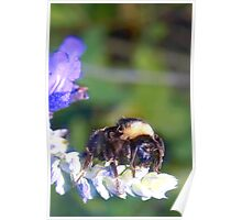 Bumble bee on lavender Poster