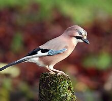 Jay by Photo Scotland