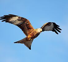 Red Kite  by Grant Glendinning