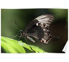 Paris Peacock tropical butterfly Poster
