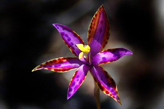 Eastern Queen Of Sheba Orchid.  by Eve Parry