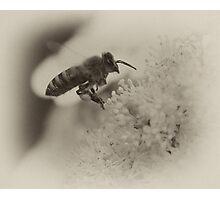 Bee in flight sepia macro near flower  Photographic Print