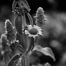 Flower blooming b&w detail reversed lens by Jason Franklin