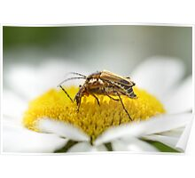 Bug Coitus love on the daisy macro  Poster