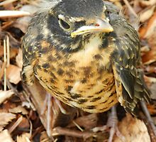 Just a baby Robin by Heather Crough