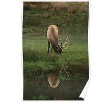 Reflection of  bull elk grazing Poster