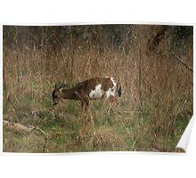 Piebald Columbia Deer Poster