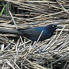 Grackle by Cynthia48