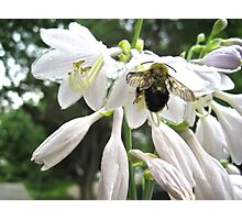 Bee's Wings Photographic Print