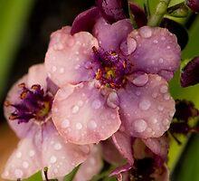 Verbascum In The Rain by TeresaB