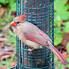 Pretty Female Northern Cardinal by Cynthia48