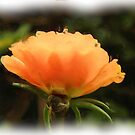 Orange Moss Rose by Sharon Woerner