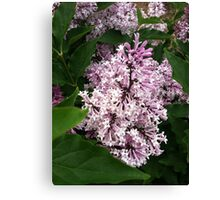 Korean lilac Canvas Print