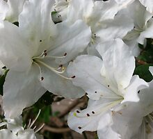 White azalea by Julie Van Tosh Photography