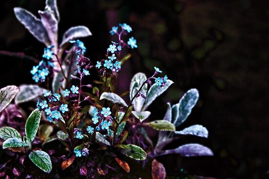 Forget me not flower plant by Vicki Field