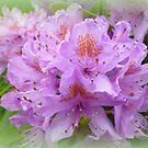Rhododendron by ©The Creative  Minds