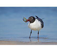 Laughing Gull Catching Pipefish. Photographic Print