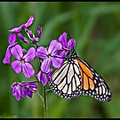Painted Monarch by greyrose