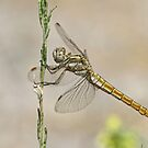 Female Southern Skimmer by Robert Abraham