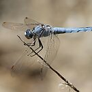 Male Southern Skimmer by Robert Abraham