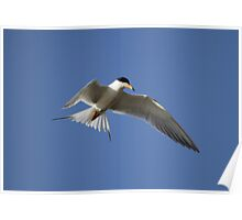Artic Tern Up Close In Flight Poster