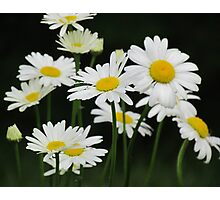 Marguerites Photographic Print
