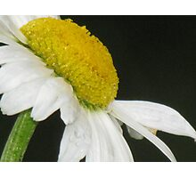 Marguerite Photographic Print