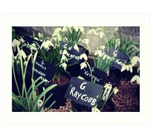 Snowdrops at Anglesey Abbey Art Print