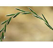 Golden Valley Grass Photographic Print