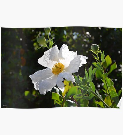 Peaceful White Flower Poster
