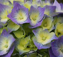 Blue Hydrangea Macrophylla by Jo Nijenhuis
