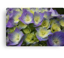 Blue Hydrangea Macrophylla Canvas Print