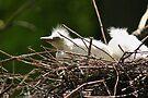 Cattle Egret Chick in Nest by Jo Nijenhuis