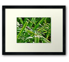 Baby Black Rat Snake - Elaphe obsoleta obsoleta Framed Print