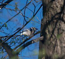 Blue Bird by Jaysen Edgin